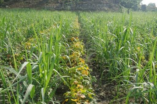 Xen canh các loại cây trồng khác nhau
