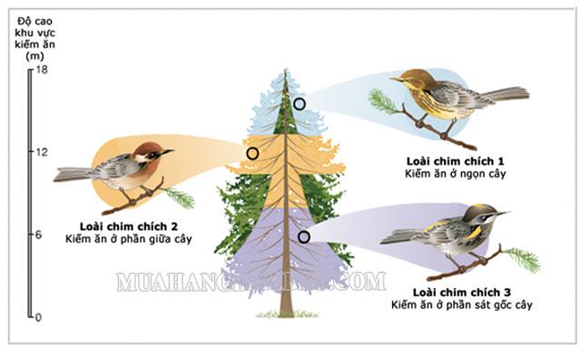 Hình ảnh miêu tả ổ sinh thái của 3 loài chim chích khác nhau